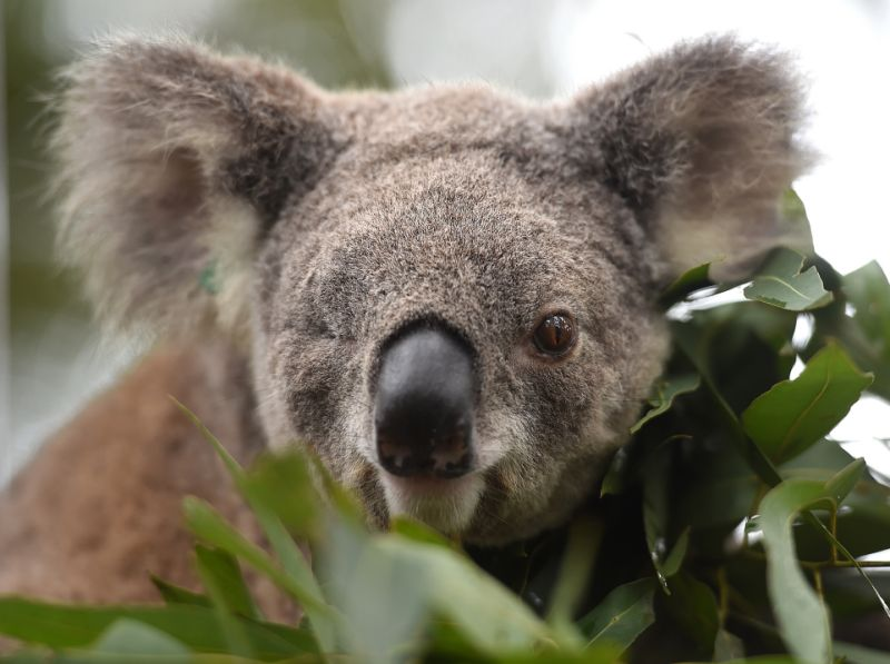 Science hope for threatened koalas