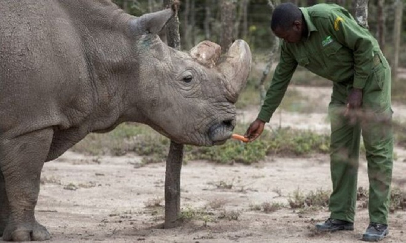 Embryo breakthrough 'can save northern white rhino'