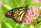 Rising carbon dioxide levels pose threat to monarch butterflies