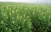 Prospects of sesame farming in dried Barind tract