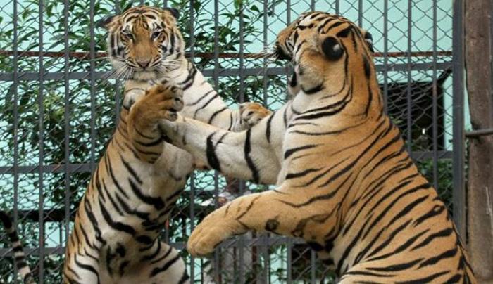 3 tiger cubs born at Chittagong Zoo