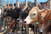 1.16cr sacrificial animals ready for Eid-ul-Azha