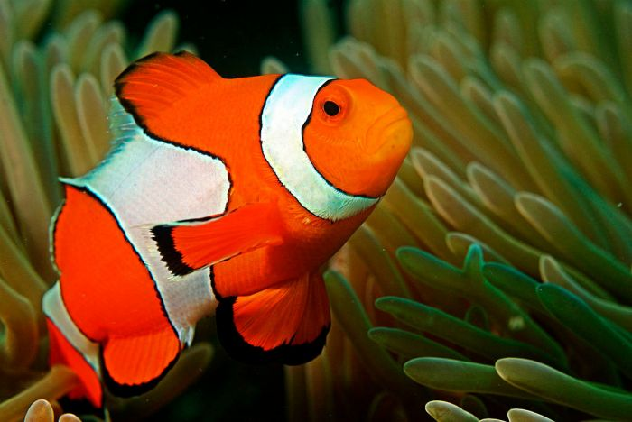 Researchers say colourful stripes of clownfish protect it from predators