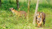 Number of tigers in Sundarbans to increase, hope experts