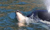 Killer whale spotted pushing dead calf for two days