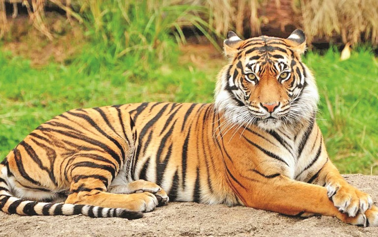 35 tigers died in 15 years