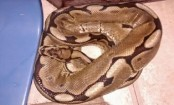 Woman wakes up to 3ft python