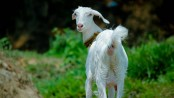 Pregnant goat dies after being gang-raped by 8 men in India