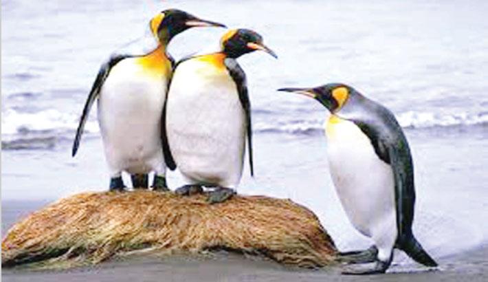World's biggest king penguin colony shrinks 90 percent