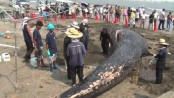 Rare dead blue whale washed ashore on Japan beach