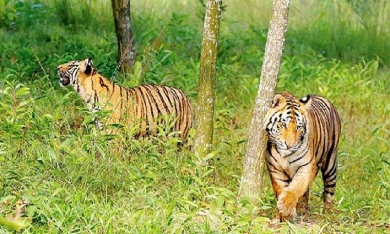 Growing vulnerabilities of tigers: 50 beaten dead in 18 years