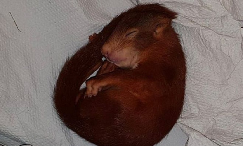 German police save man from baby squirrel terror