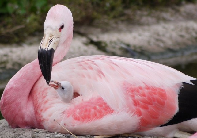 Heat wave put flamingos in the mood for 1st time in 15 years