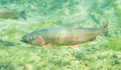 China's rainbow trout gets a new name: 'salmon'