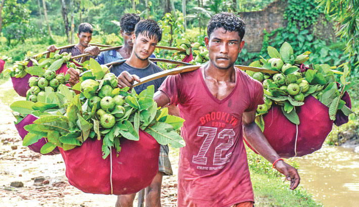 Bumper yield brings smile to guava growers in Ctg   2018-08-18