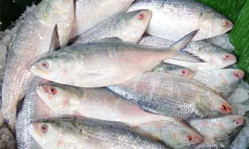 Chandpur markets abuzz with fishermen amid huge hilsha catches