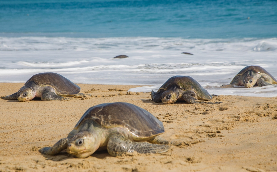 122 sea turtles found dead on Mexico beach