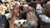 Cattle prices plunge dramatically with few buyers on last day