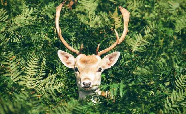 Dutch mull 'eau de lion dung' to scare off pesky deer