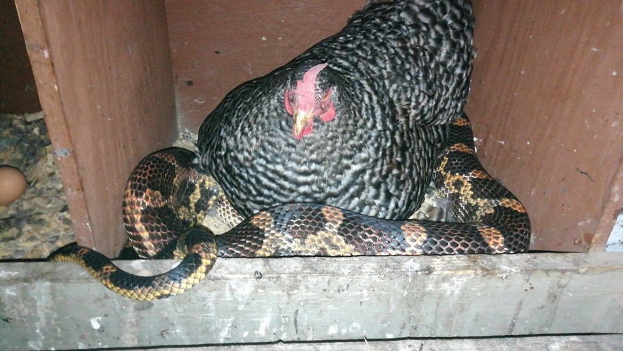 Hen sits on egg-thieving snake, leaves both owner, serpent baffled