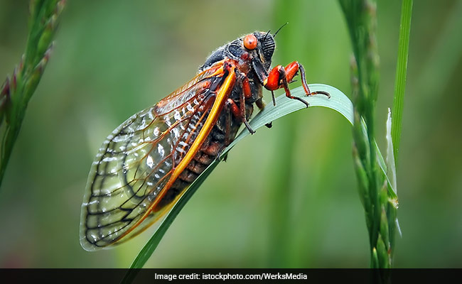 Tourists complain French cicadas are 'too loud'