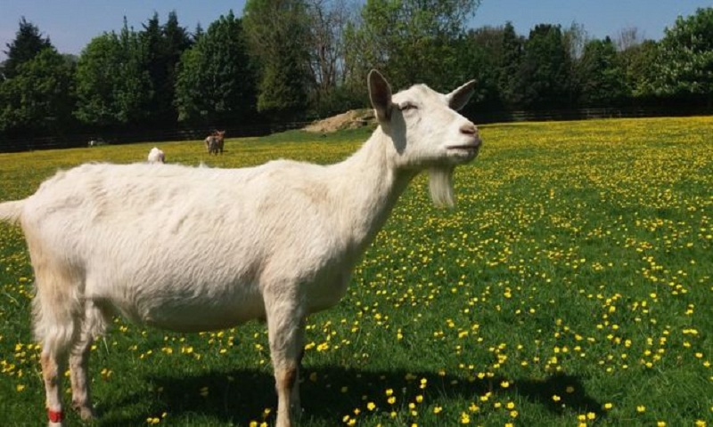 Goats 'drawn to happy human faces'