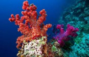 Rising temperature puts deeper corals in danger