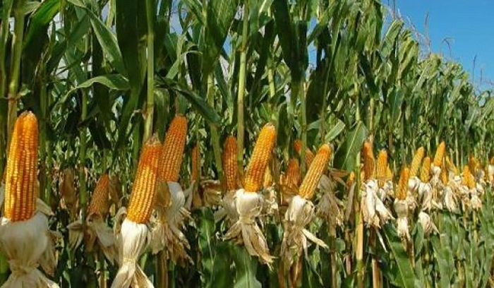 Farmers exceed maize output target in Rangpur region