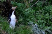 The incredible marathon of New Zealand Tawaki penguins