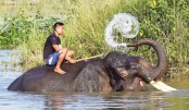 Indian mahout sitting on his elephant as it washes itself