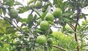 Orange, malta farming get popular