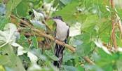 Pakra, an endangered bird