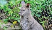 Mystery kangaroo in  Austria eludes police