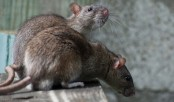 Deadly 'rat fever' in flood-ravaged Indian state