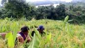 Rangamati farmers smile amid bumper jhum yield