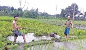 Irrigating a Boro paddy field