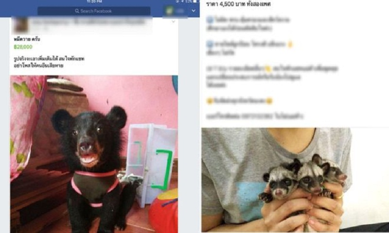 Facebook animal trade exposed in Thailand