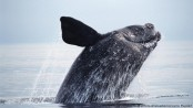Atlantic whale sanctuary bid blocked by pro-hunting nations