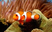Researchers find Nemo's genetic code