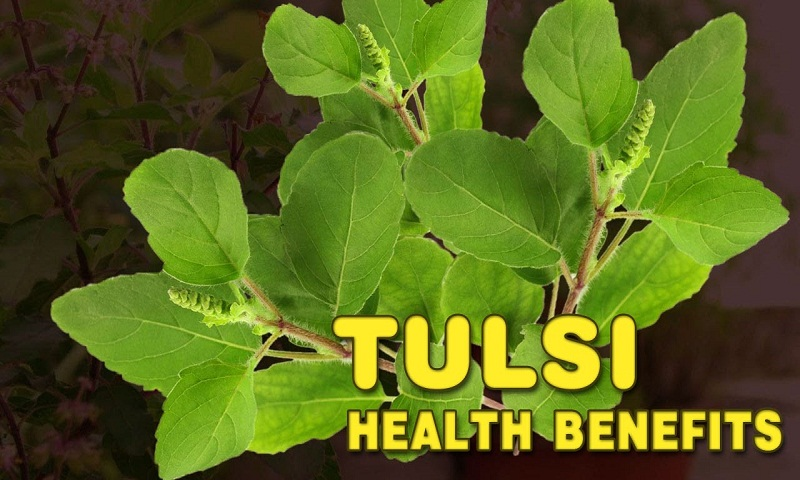 Benefits of tulasi, how this medicinal herb can keep you healthy
