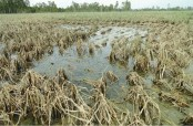 Extreme climate events affect Bangladesh's food production: FAO