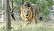 India probes death of 12 endangered lions