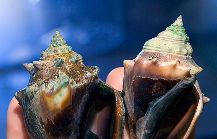 Ocean acidification may deplete sea scallop fisheries