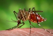 With genetic tweak, mosquito population made extinct