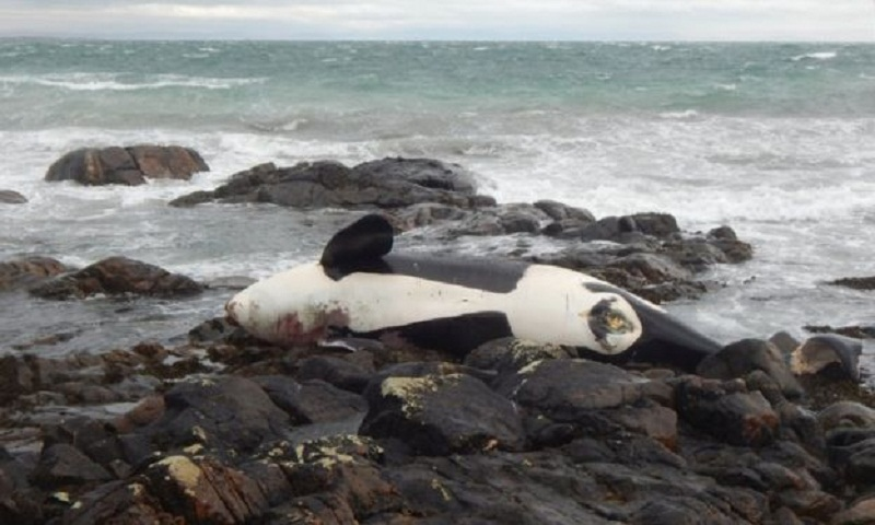 Pollution threatens the future of killer whales