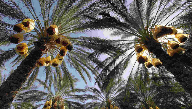 Conflict and drought ravage Iraq's prized date palms