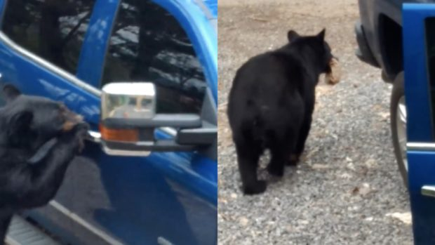Hungry bear opens car door like a boss, steals food (Video)