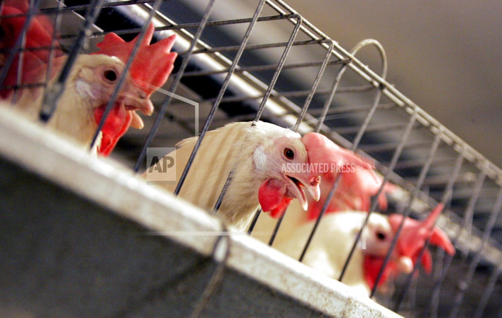 Californians weigh making egg-laying hens cage-free by 2022