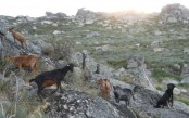 Goat brigades help battle Portugal's deadly wildfires