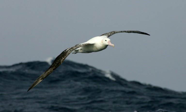 Albatrosses to spy out illegal fishing